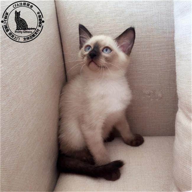 暹罗猫活体淡紫色纯种泰国幼猫cfa认证实体猫舍可上门宠物猫