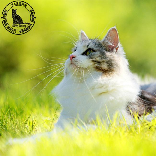 缅因猫纯种幼猫缅因库恩猫缅因猫活体宠物猫挪威森林猫巨型猫