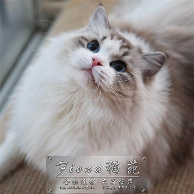 猫舍出售双色蓝眼纯种健康布偶猫满耳满背无色块带证书