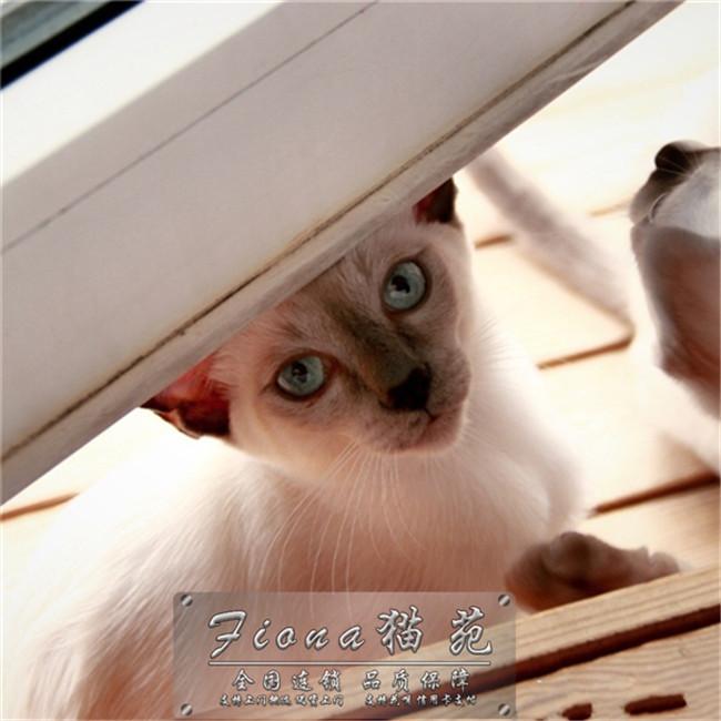 出售纯种泰国暹罗猫活体宠物猫咪幼猫仙女猫幼猫活体