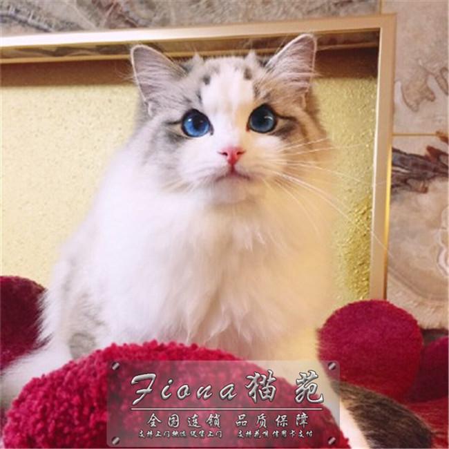 带证出售赛级布偶猫繁育首选可上门挑选送货上门CFA认证猫舍