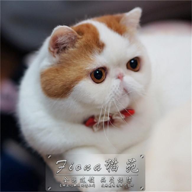 活体宠物猫加菲猫纯种加菲猫幼猫幼崽低价咖啡猫异国短毛猫猫咪