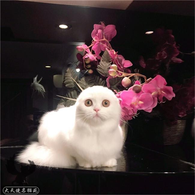 出售好品质苏格兰折耳猫英短折耳猫舍活体幼猫纯种猫咪家养