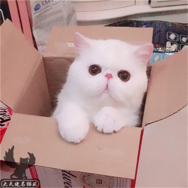 小奶幼妹_加菲猫纯种宠物猫活体幼崽异国短毛猫蓝猫折耳小奶猫加菲猫宠物