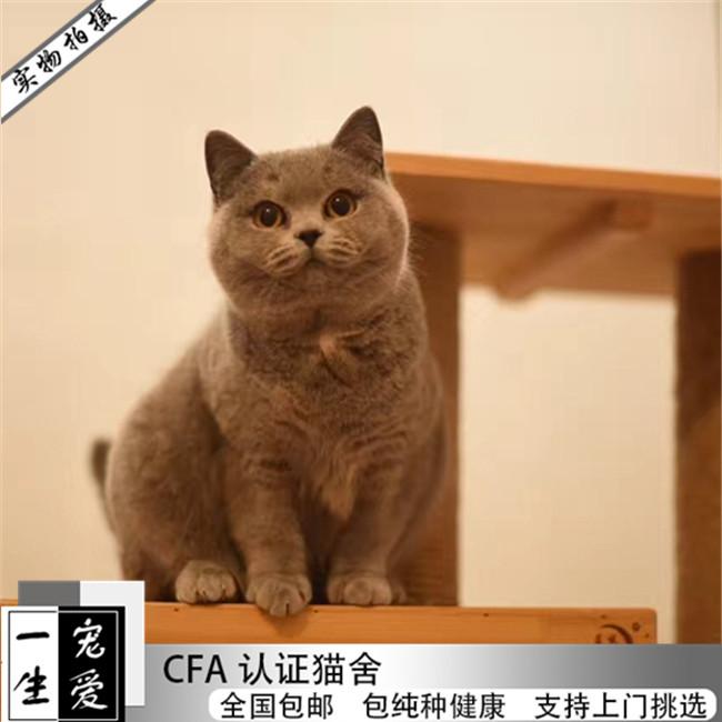 出售家养英短蓝猫蓝白活体纯种银渐层幼猫蓝猫低价小猫英国短毛
