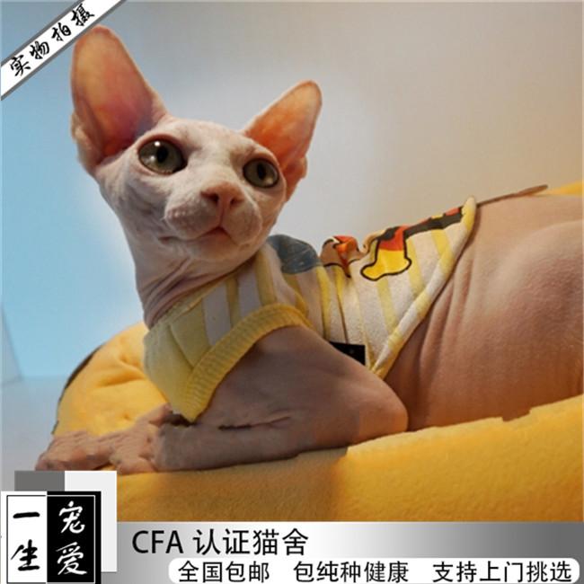 苏格兰折耳猫宠物猫活体猫咪渐层美短加菲猫豹猫布偶猫无毛猫缅