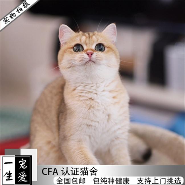 专业繁殖幼猫宠物猫活体出售包退包换