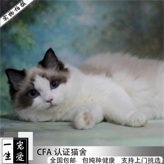 猫舍出售布偶猫幼猫活体满耳满背无色块健康纯种带正出售