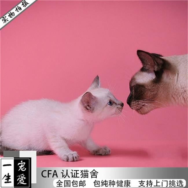 出售暹罗猫幼猫活体可上门挑选包纯种健康签协议
