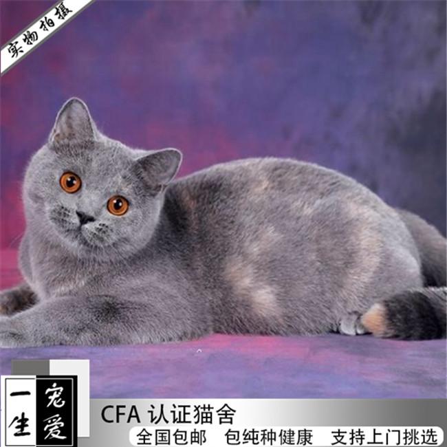纯种英短蓝猫英国短毛猫宠物猫活体幼猫活体宠物猫家养小猫咪出