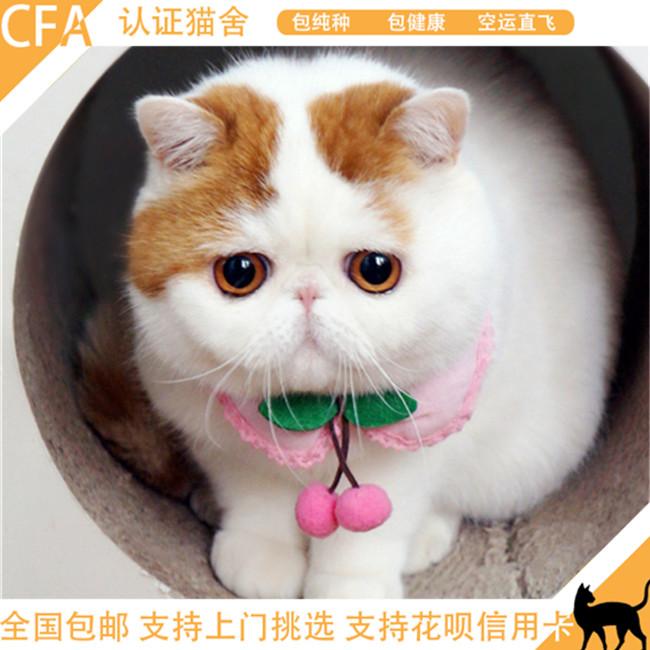异国短毛猫幼猫宠物猫加菲猫活体家养纯种加菲幼崽净梵猫