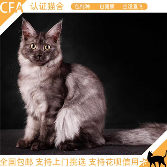 预售巨型缅因猫活体幼猫缅因红虎斑加白WCF带证出售