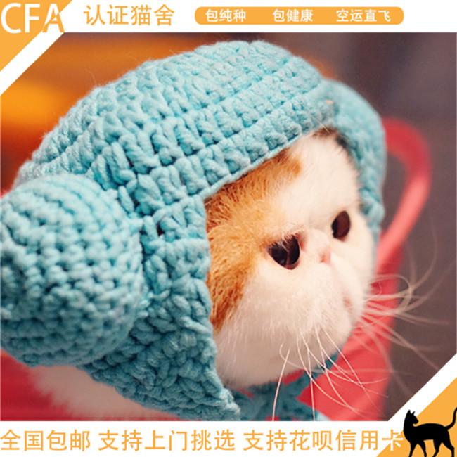 加菲猫纯种活体异国短毛赛级种公后代高品质猫咪幼崽公带证书