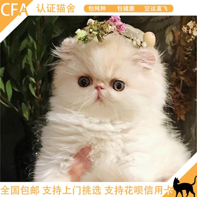 宠物猫纯种波斯猫纯白长毛加菲猫纯白猫咪水滴眼纯种