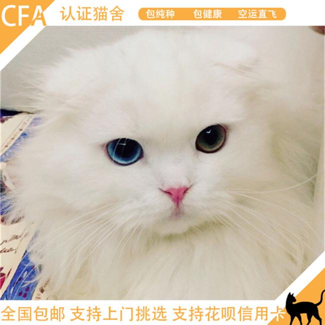 纯种苏格兰折耳猫幼猫蓝白猫英国短毛猫美短折耳活体宠物猫