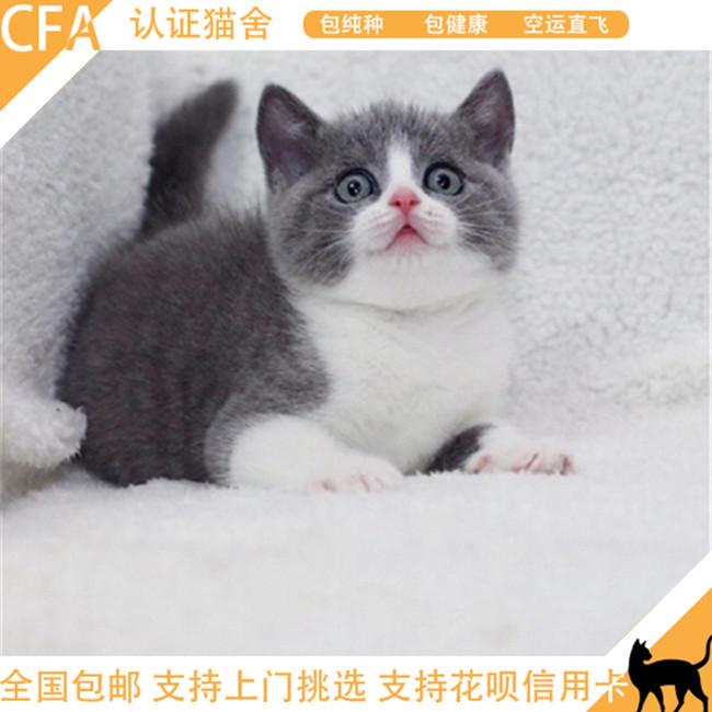 猫舍出售英国短毛猫英短蓝猫蓝白幼猫活体纯种小猫咪活体