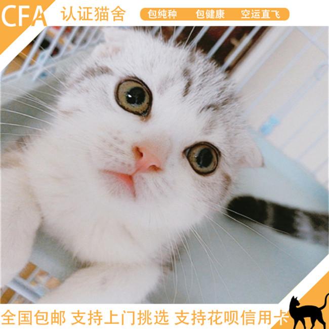 苏格兰折耳猫英短蓝白家养活体幼猫宠物猫折耳蓝猫立耳可上门