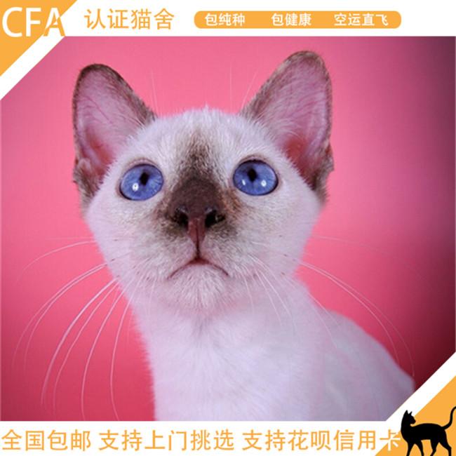 暹罗猫活体纯种泰国猫幼猫淡紫色短毛猫宠物猫咪蓝眼迷你型小奶