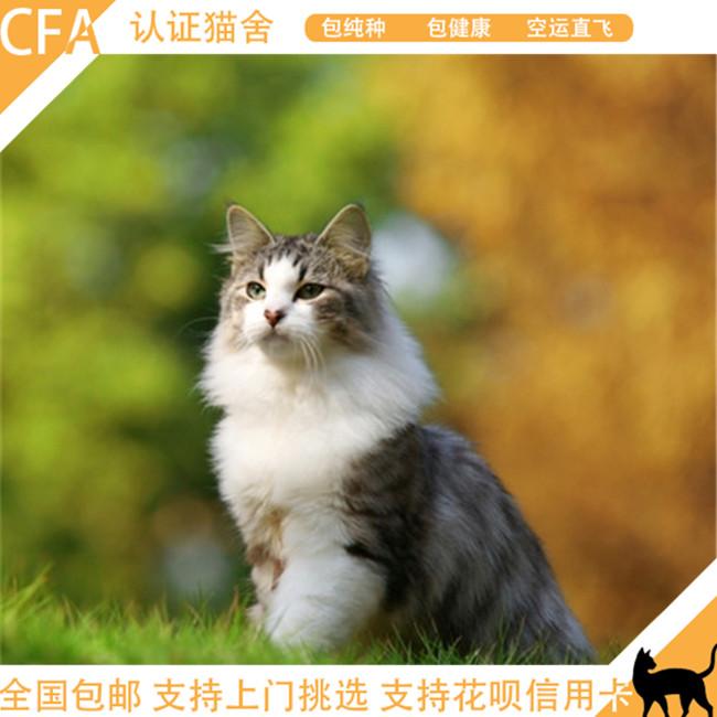 纯白缅因猫纯种幼猫活体黄灰色乳色橘红色黑色幼猫公猫母猫包健