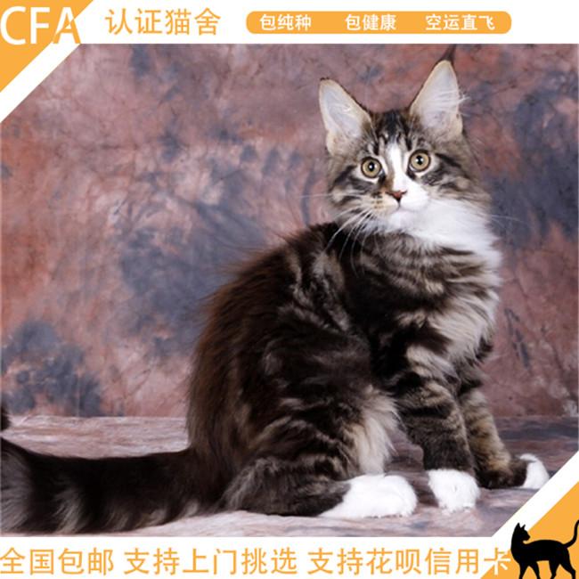 出售缅因猫活体幼猫纯种宠物猫棕银虎斑缅因库恩猫活体