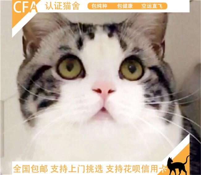 纯种活体美国短毛猫银虎斑短毛猫加白幼猫幼崽宠物猫鱼骨纹美短