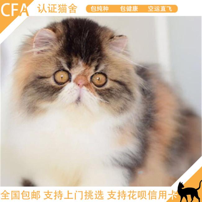 出售纯种波斯猫橘眼加菲猫活体幼猫异国短毛长毛猫包邮