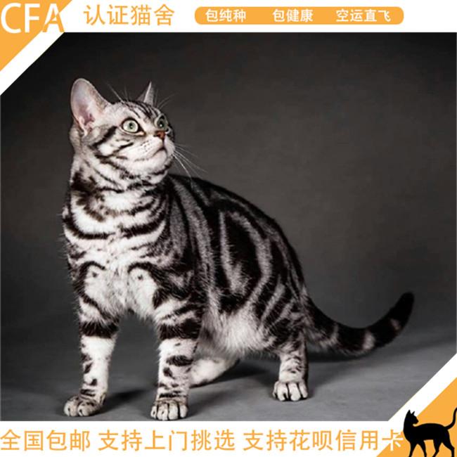 出售家养美短幼猫繁殖纯种美国短毛猫美短银虎斑宠物猫活体