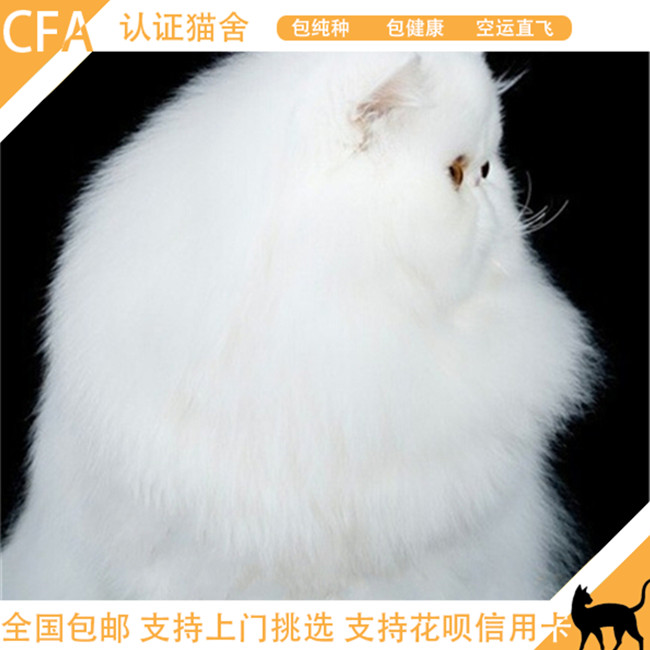 波斯猫活体有血统证书白色波斯猫宠物猫咪幼猫长毛猫大脸猫