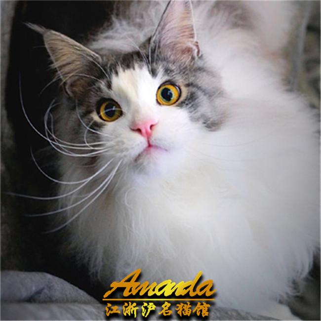 国外引进cfa缅因库恩猫纯种缅因幼猫活体宠物猫巨型缅因猫家