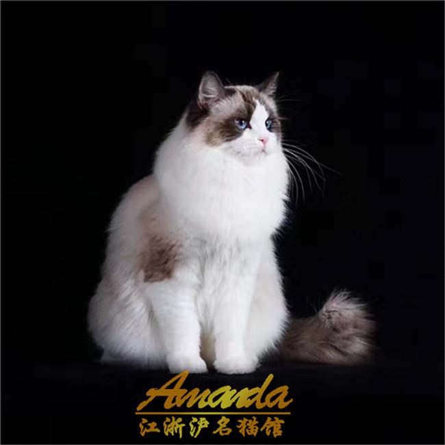 CFA认证猫舍出售布偶猫纯种健康活体幼猫蓝眼