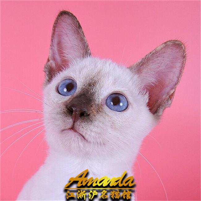 泰国暹罗猫活体纯种宠物短毛猫蓝眼挖煤工重点海豹暹罗猫幼猫