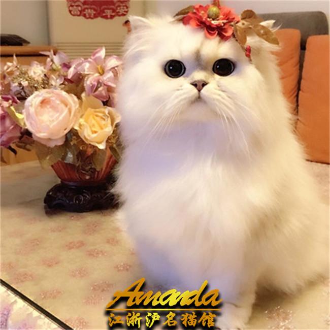 曼基康矮脚宠物猫活体双色布偶幼猫金吉拉缅因猫加菲猫幼猫