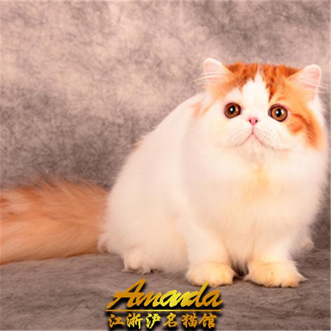 预售金吉拉幼猫纯种蓝眼长毛猫宠物猫活体波斯猫猫咪活体