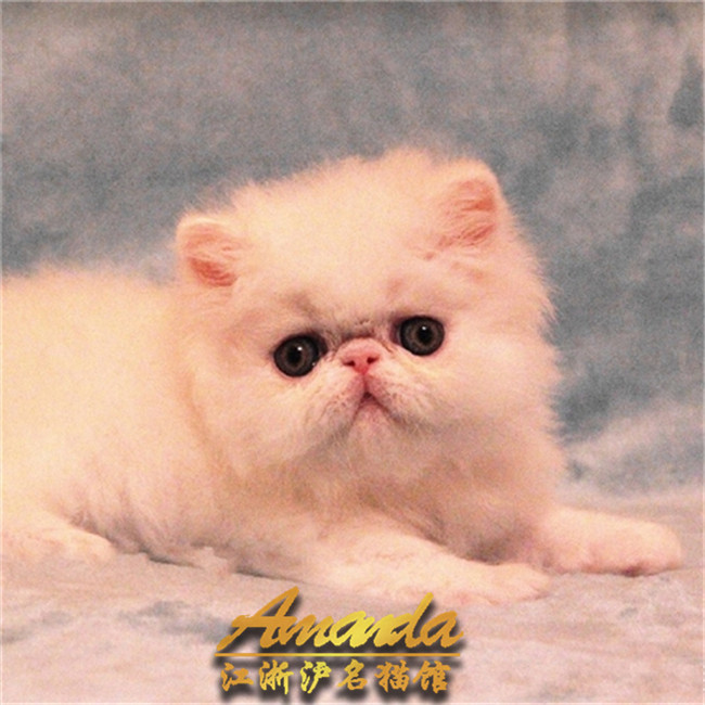 加菲猫活体幼崽纯种黄白三花黑白净樊红虎斑加菲自家繁殖上门挑
