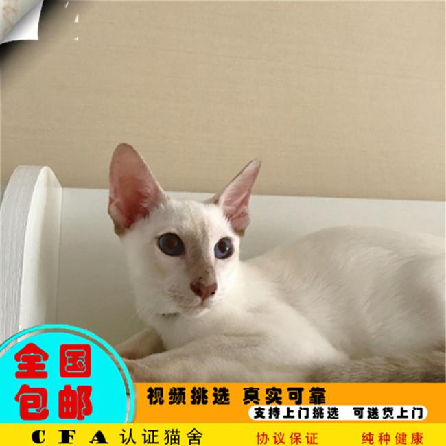 纯种泰国猫暹罗猫活体淡紫色宠物小猫咪幼猫海豹蓝
