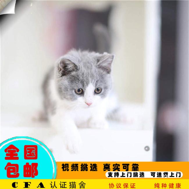 出售宠物幼猫活体纯种英国短毛猫英短蓝猫活体宠物猫可送货上门