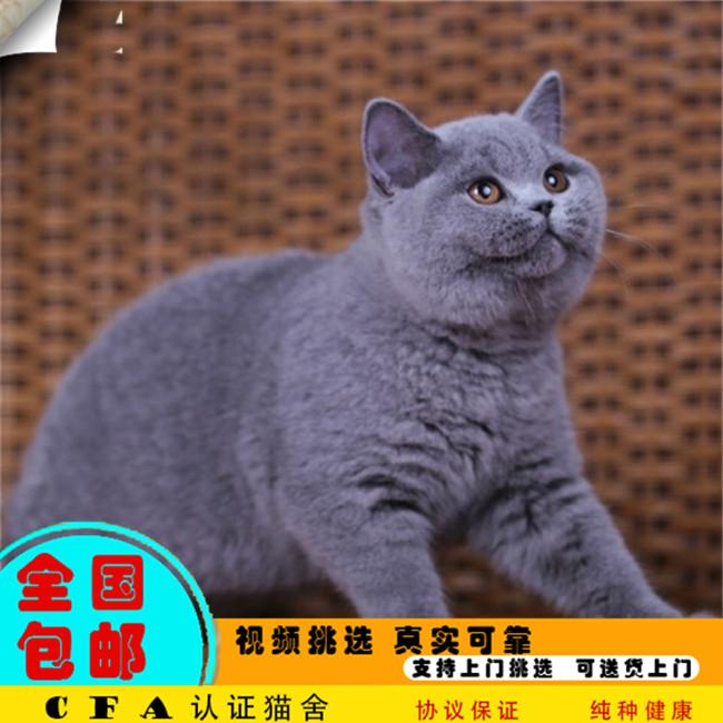 蓝猫宠物活体英国短毛猫纯蓝色纯种丁香色英短幼猫家养可爱小猫