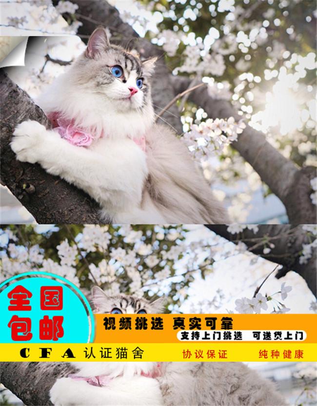 带证出售宠物布偶猫幼猫活体纯种健康高贵优雅可上门挑选