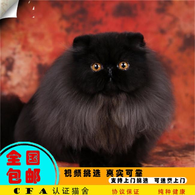 纯白色波斯猫活体宠物猫纯种长毛加菲猫有血统证书家养可爱迷你