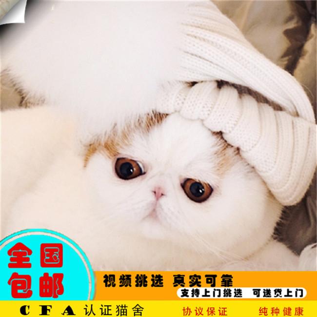 宠物店出售纯种异国短毛猫加菲猫波斯猫幼猫幼崽活体宠物猫真猫