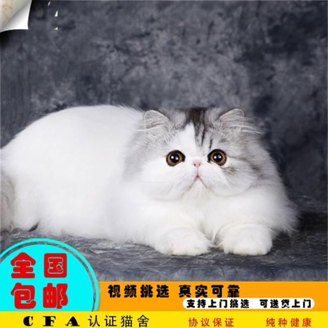 净梵加菲猫活体黑白波斯猫家养猫咪长毛猫幼猫宝宝自家猫舍波斯
