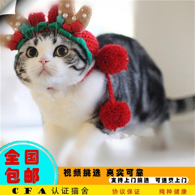 出售美国短毛猫美短虎斑起司加白宠物猫活体幼猫幼崽银虎斑加白