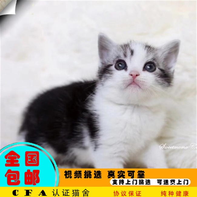 美国短毛猫美短加白起司猫美短虎斑美短活体幼猫宠物猫活体虎斑
