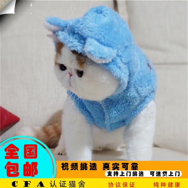 种公加菲猫幼崽红小胖纯种加菲宠物猫活体红白梵文加菲猫幼猫