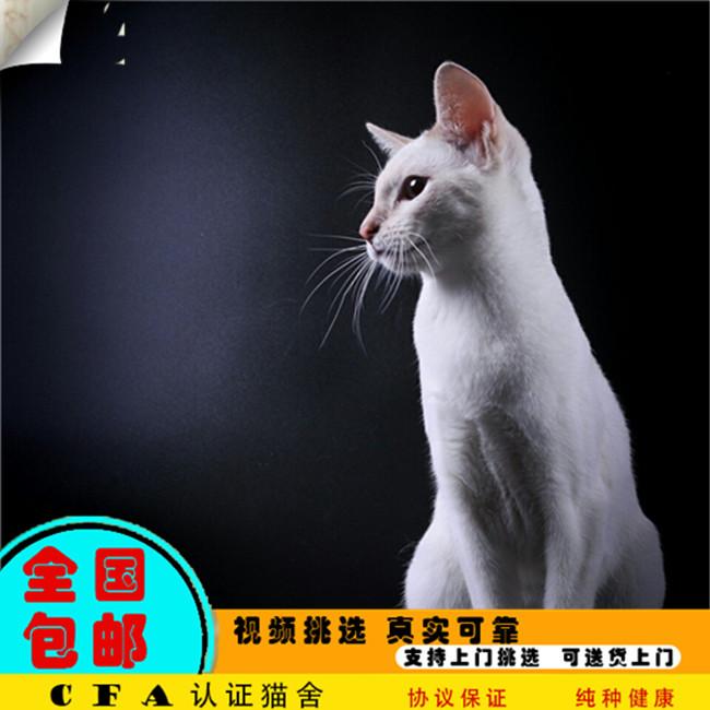 预售泰国纯种出售海豹暹罗猫咪宠物活体幼猫真猫家养繁殖蓝眼睛