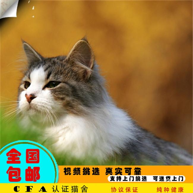 CFA缅因猫幼猫活体纯种宠物猫活体幼崽小奶猫宠物猫活体大型