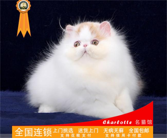 宠物波斯猫纯白小猫纯种加菲猫波斯猫折耳猫蓝白英短美短加菲猫