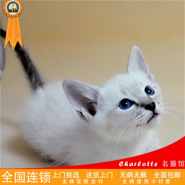 暹罗猫幼崽出售重点暹罗猫活体江浙沪上门挑选