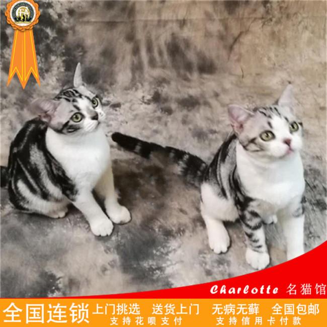 美国短毛猫纯种短毛猫银渐层美短虎斑加白起司幼猫猫咪活体宠物