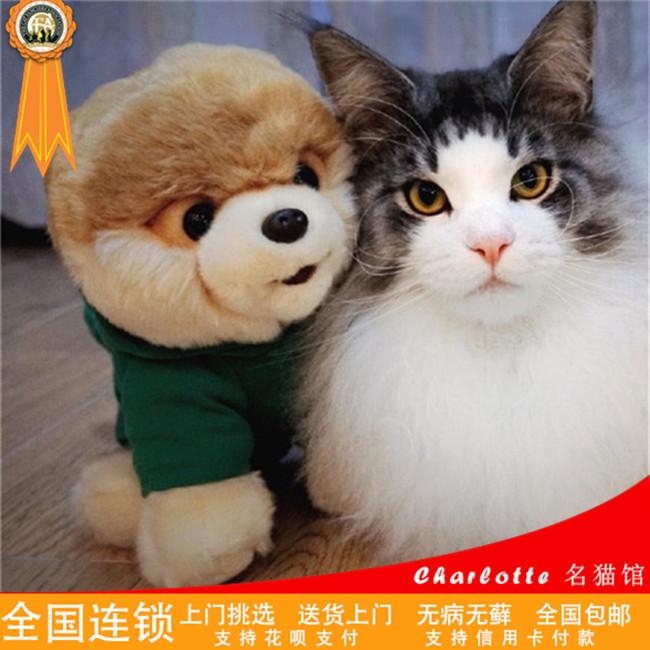 缅因猫活体纯种幼猫猫咪活体库恩猫活体大型猫巨型CFA认证猫
